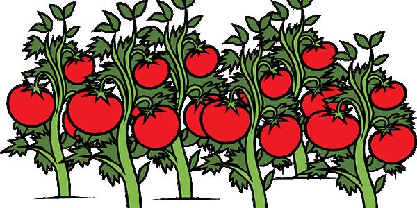 tomato-308855_640